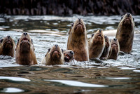 Sea Lions looking up