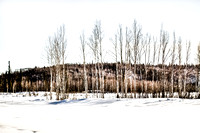 Birch Trees in the Snow Artistic
