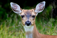 Sitka Black-tailed Deer Portrait
