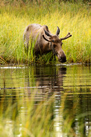 Young Moose in Pond