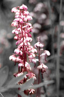 Pink Pyrola on Black and White
