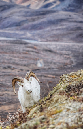 Dall Sheep grazing