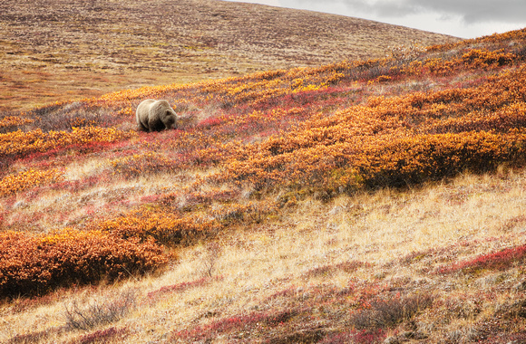 Grizzly in the fall tundra