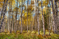 Backlit Fall Birch Trees