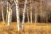 Watercolor Birch Trunks