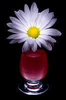 White Daisy in Red Vase