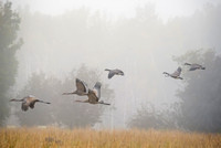 Sandhills and Geese Flying in Fog